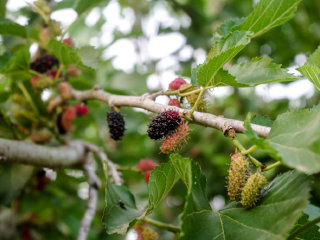 Mulberries © twohungrypeople